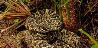 eastern diamond back rattlesnake