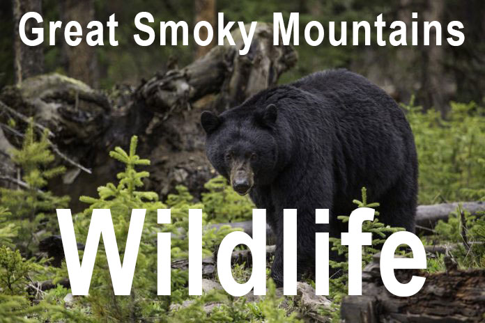 smoky mountains wildlife