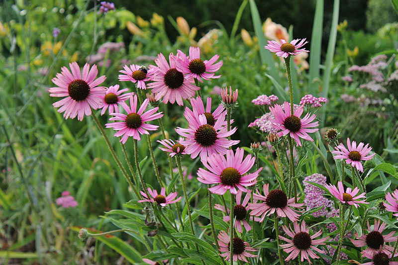 Tennessee Coneflowers
